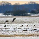 Seeadler – eine spannende Begegnung