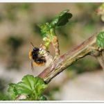 rotpelzige Sandbiene – Andrena fulva