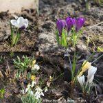 erste, zarte Frühlingsgrüße