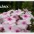 (rispige) Flammenblume - Phlox  paniculata